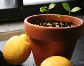Як виростити лимон з кісточки? фото