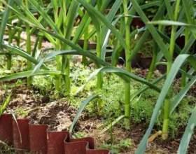 Як виростити цибулю-порей? фото