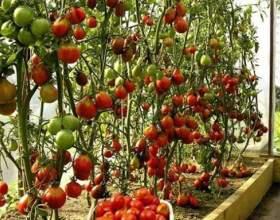 Як виростити помідори в теплиці? фото