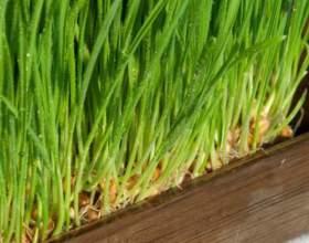 Як виростити пшеницю? фото