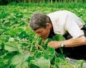 Як виростити розсаду огірків фото