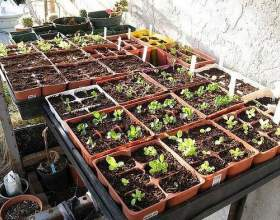 Як виростити розсаду? фото