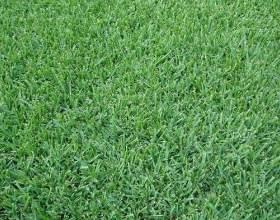 Як виростити траву? фото