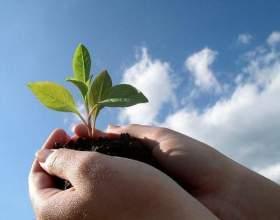 Як висаджувати розсаду? фото