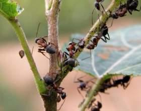 Як вивести мурах з городу? фото