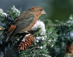 Яка птах виводить пташенят взимку? фото