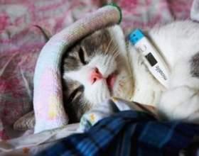 Яка температура у кішок? фото