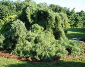 Які дерева хвойні? фото