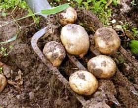 Коли копати картоплю? фото