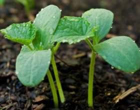 Коли садять огірки в грунт? фото