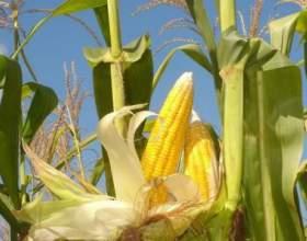 Коли садити кукурудзу? фото