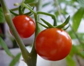 Коли сіяти томати? фото