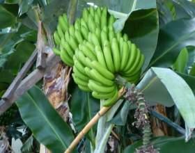 На чому ростуть банани? фото
