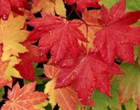 Чому червоніють листя? фото