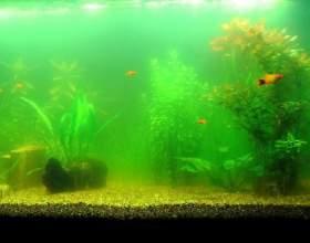 Чому каламутніє вода в акваріумі? фото