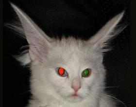 Чому не можна фотографувати кішок? фото