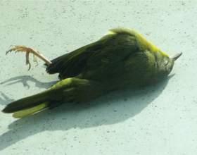 Чому падають птахи? фото