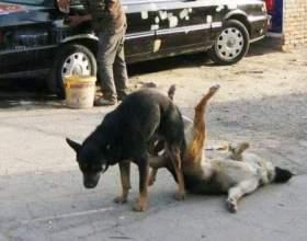 Чому собаки злипаються? фото