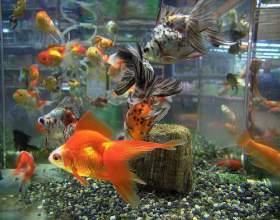 З ким уживається золота рибка? фото