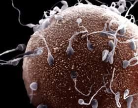 Скільки живе яйцеклітина? фото