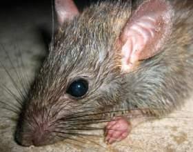 Скільки живуть щурі? фото