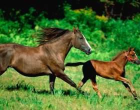 Скільки живуть коні? фото